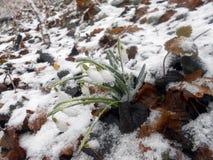 Snödroppe-fryste Galanthus nivalis Fotografering för Bildbyråer