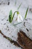 Snödroppe i snön Royaltyfri Fotografi