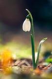 snödroppeblomma (Galanthus nivalis) Arkivbilder