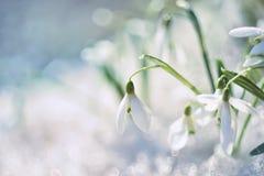 Snödroppeblomma i smältande snö Royaltyfri Foto