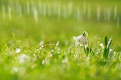 Snödroppeblomma med att blänka gräs Royaltyfri Bild