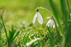 Snödroppeblomma med att blänka gräs Arkivfoton