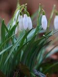 Snödroppeförsmak av våren Royaltyfri Fotografi