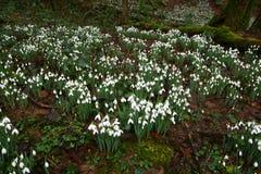 Snödroppen blommar i skogsmark Royaltyfri Foto