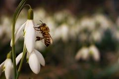 Snödroppen blommar med biet i vår royaltyfri fotografi
