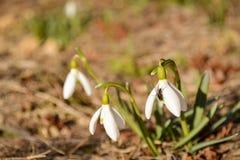 Snödroppen blommar med flugan på solig dag i vår Arkivfoto