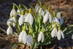Snödroppen blommar på solig dag i vårcloseup Royaltyfri Fotografi