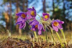 Snödroppen växer i det löst i skogen Fotografering för Bildbyråer