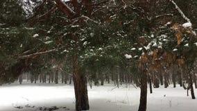 Snöfall på en bakgrund av sörjer träd stock video