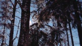 Snöflingor som ner faller från träden och blänker i ett ljust solljus Utvändig skytte i träna timmar liggandesäsongvinter arkivfilmer