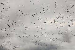 Snögäss Birding Virginia Farm Field i vinter Fotografering för Bildbyråer