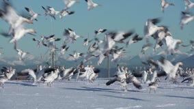 Snögäss som landar, Garry Point, ultrarapid 4K UHD arkivfilmer