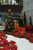 Snögränd av julstjärnan Royaltyfria Bilder