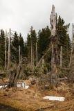 Snöhäftig snöstorm i skogen Arkivfoton