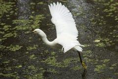 Snöig ägretthäger med vingar som är utbredda i de Florida evergladesna Royaltyfri Foto