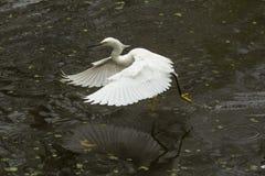 Snöig ägretthäger med vingar som är utbredda i de Florida evergladesna Arkivfoto
