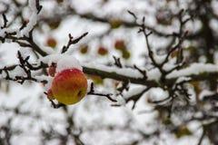 Snöig äpple royaltyfri fotografi