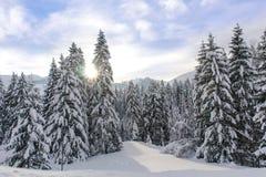 Snöig alpina träd XI Royaltyfri Bild