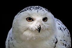 Snöig arktisk Owl för Owl (Buboscandiacus) Fotografering för Bildbyråer