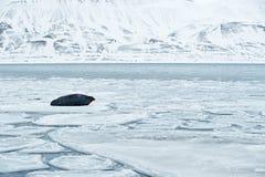 Snöig arktiskt landskap med det stora djuret Valrossen Odobenusrosmarus, klibbar ut från blått vatten på vit is med snö, Svalbard royaltyfri bild