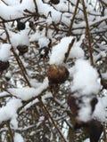 Snöig bär Royaltyfria Foton