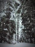 Snöig backlit träd i vinterskog royaltyfri fotografi