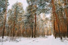 Snöig bana, väg, väg eller bana i vinterskog Fotografering för Bildbyråer