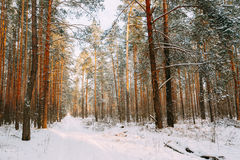 Snöig bana, väg, väg eller bana i vinterskog Arkivfoton