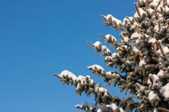 Snöig barrträd Fotografering för Bildbyråer