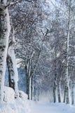 Snöig björkbana Royaltyfri Bild