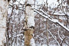 Snöig björkstam i vinterskog Fotografering för Bildbyråer