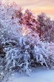 Snöig Bush fotografering för bildbyråer