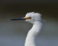 Snöig egret Royaltyfria Foton