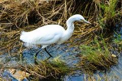 snöig egret Fotografering för Bildbyråer