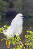 snöig egret Royaltyfri Foto