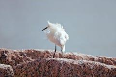 snöig egret Arkivfoton