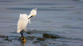 Snöig Egret (Egrettathulaen) Royaltyfri Fotografi