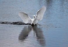 Snöig Egret (Egrettathulaen) Royaltyfria Foton