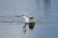 Snöig Egret (Egrettathulaen) Arkivfoto