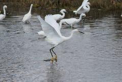 Snöig egret i flyg Fotografering för Bildbyråer