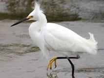 Snöig Egret i linda Arkivfoto
