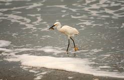 Snöig Egret med den stora Sandkrabban fotografering för bildbyråer