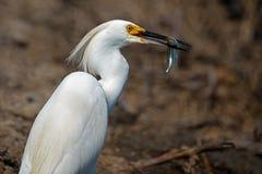 Snöig Egret med fisken Arkivbilder