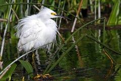 snöig egretplumage Royaltyfria Foton