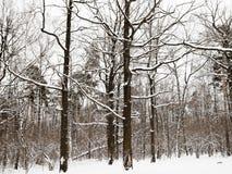 Snöig ekar och sörjer träd i vinterskog Arkivfoton