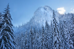 Snöig evergreen Forest Snow Mountain Snoqualme Pass Washington Royaltyfria Foton