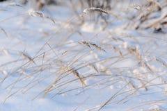 Snöig fält med torrt gräs Royaltyfri Fotografi