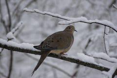 Snöig filialduva Royaltyfria Foton