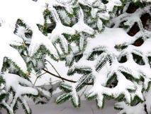 Snöig filialer från barrträdet arkivfoto