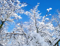 Snöig fruktträdgård på en klar bakgrund för blå himmel Arkivbild